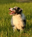 Australian Shepherd puppy female Royalty Free Stock Images