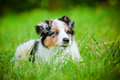 Australian shepherd puppy portrait Royalty Free Stock Photography