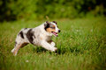 Australian shepherd puppy running Royalty Free Stock Photos
