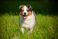 Australian shepherd puppy running Stock Images