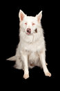 Australian Shepherd Rescue Dog Royalty Free Stock Image