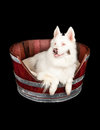 Australian Shepherd Rescue Dog in Barrel Bed Royalty Free Stock Image
