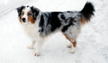 Australian shepherd an standing in the snow Stock Images