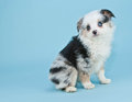 Australian shepherd a sweet aussie puppy sitting on a blue background with copy space Stock Photos