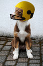 Australian shepherd wearing helmet Royalty Free Stock Photo
