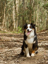 Australian Sheppard Stock Images