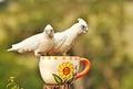Australian colorful native birds White Corella Cockatoos Royalty Free Stock Photo