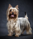 Australian silky terrier on black background Royalty Free Stock Photography