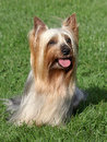 Australian silky terrier portrait of in a summer garden Stock Images