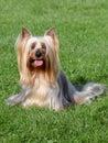 Australian Silky Terrier  in the spring garden Royalty Free Stock Photo