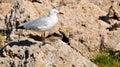 Australian Silver Sea Gull Royalty Free Stock Photo