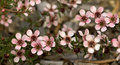 Australian Spring flowers Leptospernum tea tree Stock Image