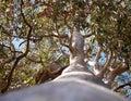 Australian Tree  Forest Red Gum Eucalyptus Royalty Free Stock Photo