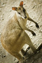 Australian wallaby close up portrait of Royalty Free Stock Photography