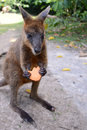 Australian wallaby feeding on a biscuit. Royalty Free Stock Photo