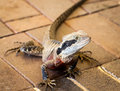 Australian water dragon on bricks colorful male intellagama lesueurii sitting red Royalty Free Stock Photo