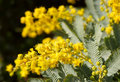 Australian wattle Stock Images