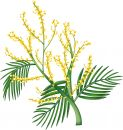 Australian wattle Royalty Free Stock Photos