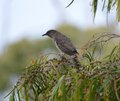 Australian wattle bird a young sitting in a bottle brush tree Stock Photo