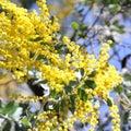Australian Wattle in Bloom 3 Royalty Free Stock Photo