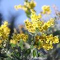 Australian Wattle in Bloom 1 Royalty Free Stock Photo
