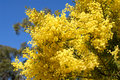 Australian wattle in spring with yellow flowering bloom Royalty Free Stock Photo