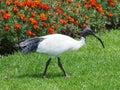 Australian White Ibis Royalty Free Stock Photo