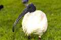 Australian white ibis on green grass background Royalty Free Stock Photos