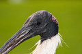 Australian white ibis the head section of with green background Royalty Free Stock Photography