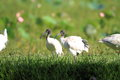 Australian white ibis threskiornis molucca in cairns australia Stock Photos