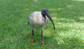 Australian white ibis. Threskiornis molucca. Sydney Park, Australia. Rings on elgs. Portrait. Royalty Free Stock Photo
