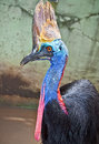 Australian wild cassowary in indonasia casuartius casuarius Royalty Free Stock Photos