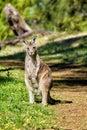 Australian wild Eastern grey kangaroo in Victoria state, Australia
