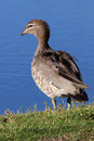 Australian wood duck a female maned or maned goose chenonetta jubata a dabbling found throughout much of australia Royalty Free Stock Photos
