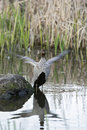 Australian wood duck flapping wings also known as a maned and also maned goose due to it s bill and grazing habit Stock Photo