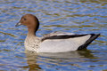 Australian wood duck a male maned or maned goose chenonetta jubata a dabbling found throughout much of australia Stock Images