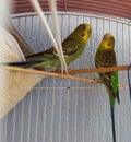 Australians parakeets Royalty Free Stock Photo
