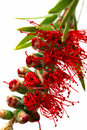 Australijski bottlebrush Obrazy Royalty Free