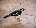 Australiska skata lärka eller peewee bird eating food scraps Arkivfoton