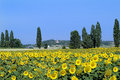 Austria, sunflower field Royalty Free Stock Photo