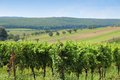 Austria vineyard burgenland wine growing region in summer Royalty Free Stock Images