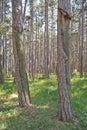 Austrian pine Pinus nigra forest Royalty Free Stock Photo