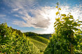 Austrian wine in South Styria: Vineyard in autumn before harvest Royalty Free Stock Photo
