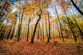 Autmn forest sunrise in autumn beech and oak Royalty Free Stock Images
