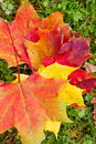 Autmn leaves on a meadow colorful maple in autumn Stock Images