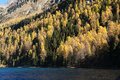 Automn forest in fall colours at lake silvaplana engadin switzerland Stock Photos