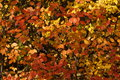 The automn leaves red orange and gold Stock Images
