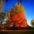 Automn tree coloured Royalty Free Stock Photos