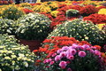Autum Mums Royalty Free Stock Photo
