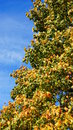 Autum tree autumn leaves on Royalty Free Stock Image
